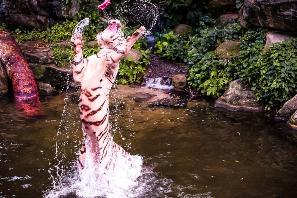 white tiger catching meat in Singapore Zoo - things to do in Singapore with kids or without